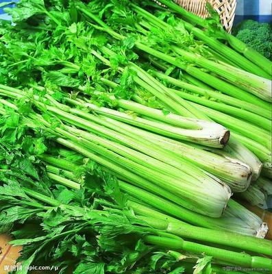 安徽省宿州市萧县香芹 50~55cm 0.5~1.0斤 大棚种植