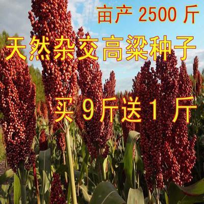 江西省南昌市南昌县红高粱种  ≥97% 杂交种 红高梁甜高梁种子