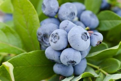 广东省广州市天河区蓝丰蓝莓  2 - 4mm以上 鲜果 智利进口蓝莓