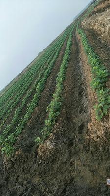广东省湛江市坡头区红薯叶