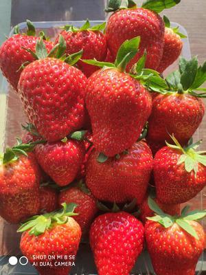 江苏省泰州市靖江市红颜草莓  20克以上 20克到35克之间