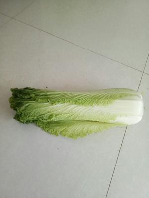 河北省保定市北市区青麻叶大白菜 6~10斤 净菜