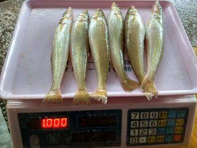 广东省湛江市霞山区沙尖鱼 野生 0.5公斤以下