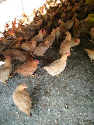 广东省惠州市惠东县鸡肉类 新鲜