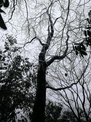 湖北省恩施土家族苗族自治州恩施市秋枫树