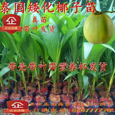 广西壮族自治区钦州市灵山县椰子苗 泰国矮化椰子树苗