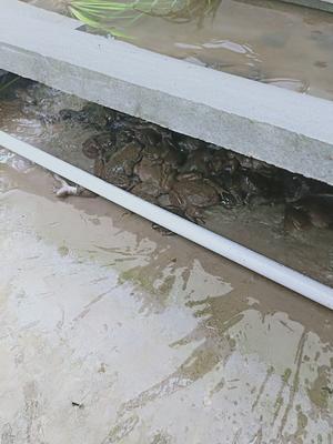 四川省达州市渠县石蛙 生态石蛙