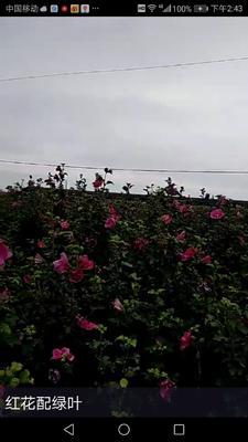 山东省潍坊市寒亭区红花木槿