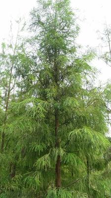 广东省江门市新会区普通水杉 绿化水杉幼苗 大量批