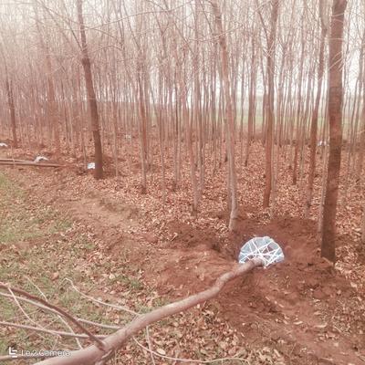 河北省保定市安国市老式白蜡 2.5~3米
