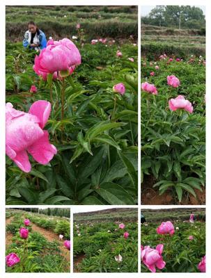 云南省曲靖市宣威市多花芍药 0.5米以下 14~16cm