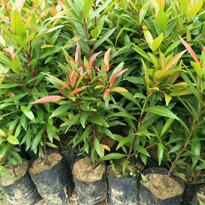 广东省佛山市三水区红车 袋苗优质彩叶植物