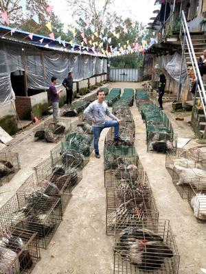湖南省永州市道县湖南豪猪 30-40斤