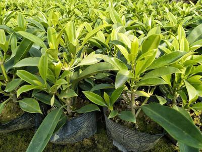 广东省佛山市三水区非洲茉莉 灰莉袋苗四季常绿植物