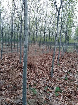 山东省泰安市岱岳区速生白蜡  3.5~5米 各规格白蜡树苗批发