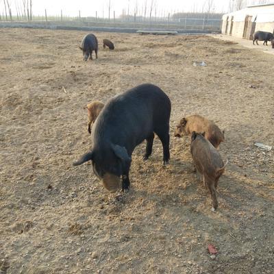 山东省济宁市嘉祥县特种野猪  出售小野猪,成年野猪