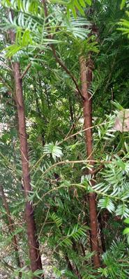 江西省宜春市宜丰县南方红豆杉 2.0~2.5米