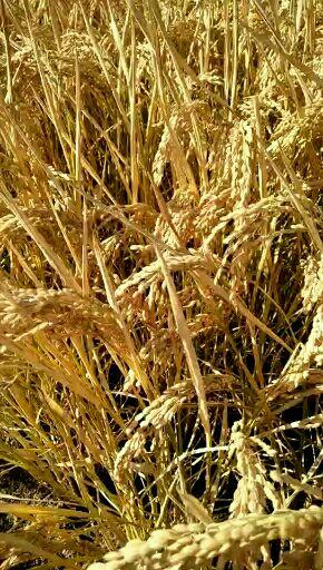 蟹田大米 一等品 一季稻 粳米