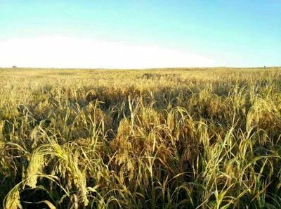 内蒙古自治区鄂尔多斯市鄂托克前旗白糜子