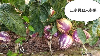 甘肃省武威市民勤县民勤人参果 4 - 5两以上