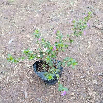 广东省佛山市三水区满天星 庭院盆栽花卉绿植