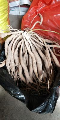广西壮族自治区钦州市浦北县百部  大量有货