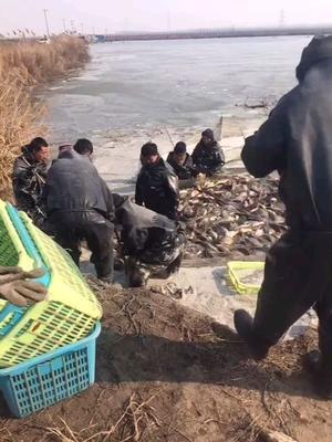 河北省唐山市曹妃甸区池塘鲤鱼 人工养殖 1-1.5公斤