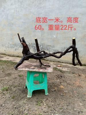 四川省泸州市古蔺县金弹子 10~12公分