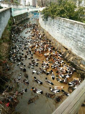 江西省上饶市鄱阳县斑嘴鸭 3-5斤