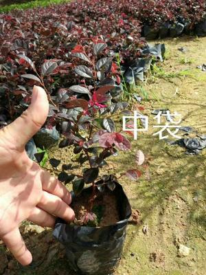 福建省漳州市漳浦县黑珍珠红继木 红花继木
