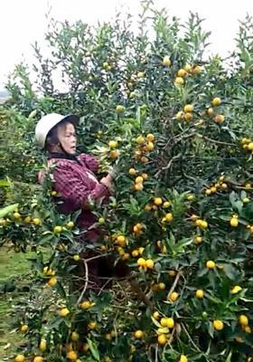 广西壮族自治区桂林市全州县脆皮金桔 3-4cm 1两以下