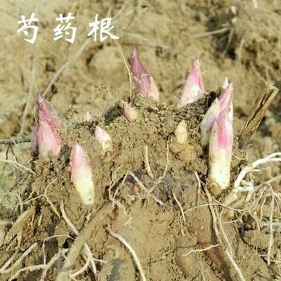 山东省临沂市平邑县多花芍药 0.5米以下 2~4cm