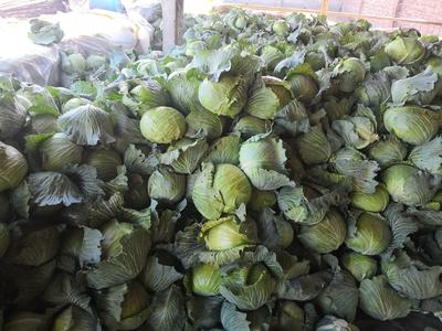 内蒙古自治区通辽市科尔沁区铁头圆包菜 混装通货
