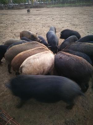 河北省廊坊市广阳区生态野猪 统货 200-300斤