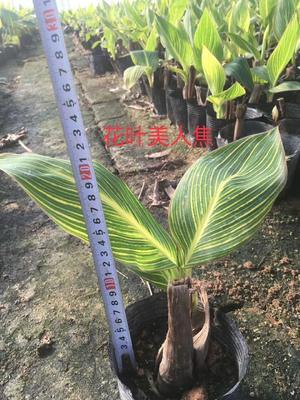福建省漳州市漳浦县黄花美人蕉 2cm以下 0.5米以下