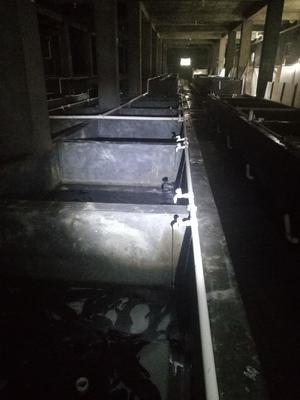 湖北省十堰市丹江口市娃娃鱼人工养殖  冷水养殖2.5斤以上