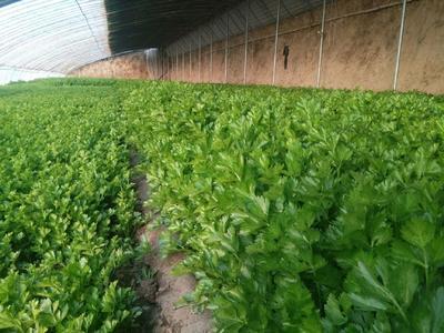 山东省东营市利津县山芹 60cm以上 0.5斤以下 大棚种植
