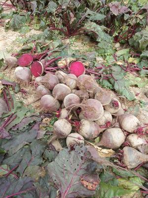 天津武清区红甜菜 15~20cm