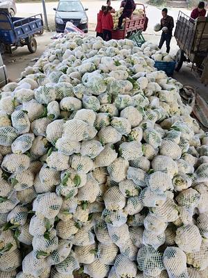 福建省南平市建瓯市白面青梗松花菜 适中 2~3斤