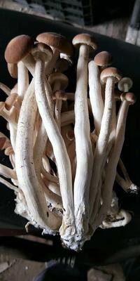 四川省成都市新津县棕褐色帽茶树菇 8~10cm 未开伞 鲜茶树菇