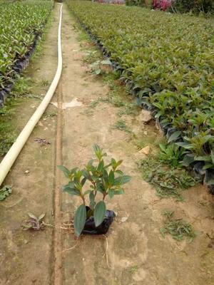 福建省漳州市漳浦县巴西野牡丹 0.5米以下 2cm以下 4cm以下