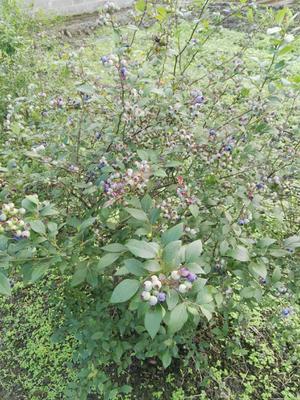 湖南省邵阳市城步苗族自治县兔眼蓝莓 6 - 8mm以上 鲜果