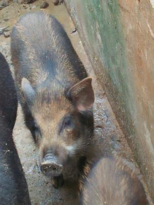 江西省上饶市余干县特种野猪 统货 20-30斤
