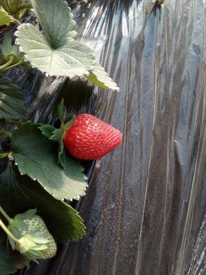 内蒙古自治区呼和浩特市赛罕区红颜草莓 20克以上