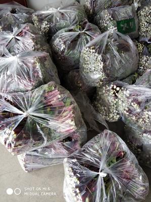 湖北省孝感市汉川市红菜苔10cm以上