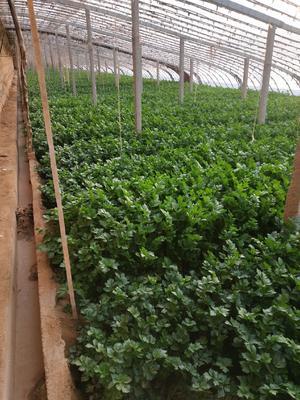 陕西省西安市高陵县西芹 55~60cm 0.5~1.0斤 大棚种植
