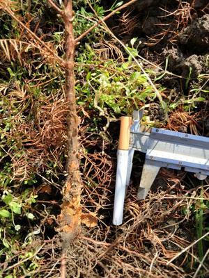 湖北省恩施土家族苗族自治州利川市水杉地径苗  0.7以上