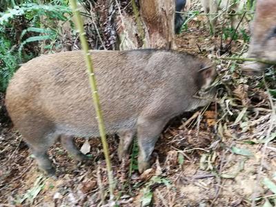 广西壮族自治区梧州市蒙山县特种野猪 母 40-60斤