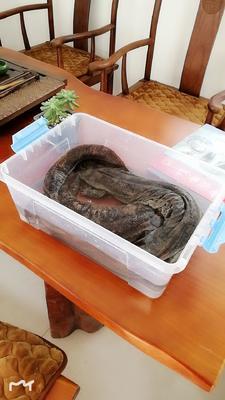 湖北省十堰市丹江口市娃娃鱼人工养殖 鱼龄5年以上一条发货