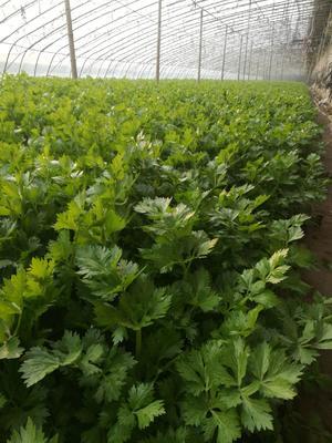 山东省临沂市沂南县西芹 55~60cm 0.5~1.0斤 大棚种植
